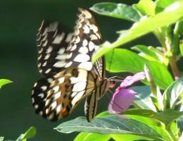 Papillon Belitung Indonésie