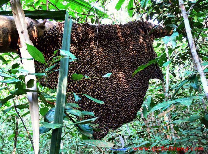 apis dorsata Belitung Go Belitung