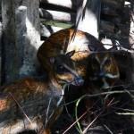 kancil Belitung Indonésie
