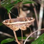 papillon Belitung Indonesie