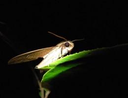 kupu kupu Belitung Indonesie