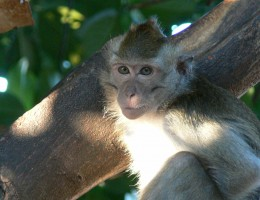 macaque Belitung Indonesie