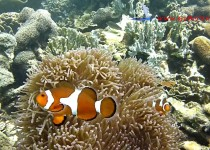 poisson clown Belitung Go Belitung