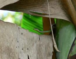 serpent volant Belitung Indonésie