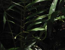 serpent Belitung Indonésie
