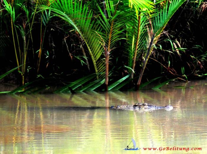 Crocodile Belitung Go Belitung