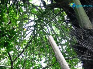 gula merah Belitung Indonésie Go Belitung