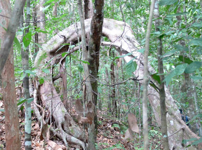 liane racine Go Belitung