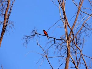 oiseau-rouge