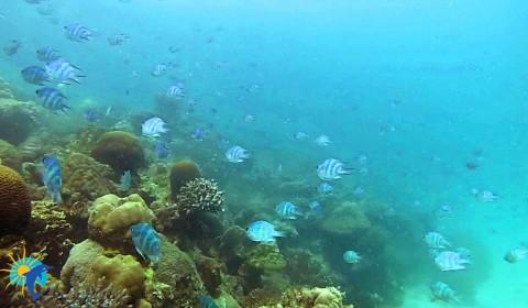 Snorkeling Belitung Indonésie petits poissons rayes bleu Belitung Indonésie