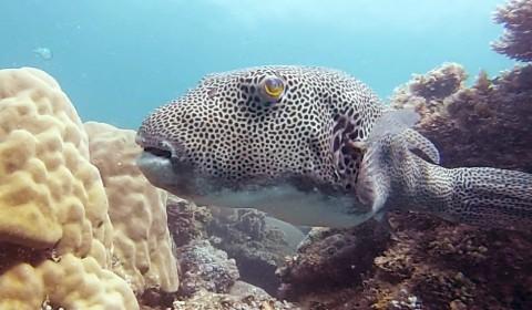 Snorkeling Belitung Indonésie poisson ikan buntal Belitung Indonésie