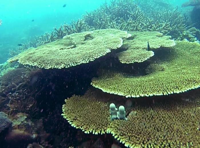 Coraux Ile de la tortue Belitung Indonesie