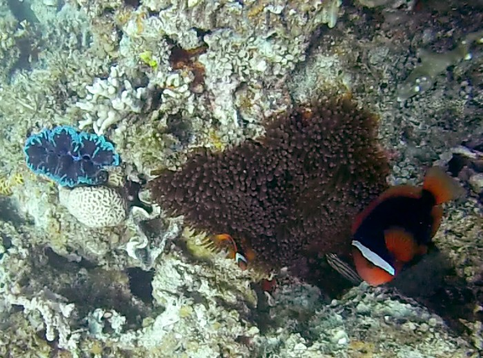 Coquillage et poisson clown Belitung Indonesie