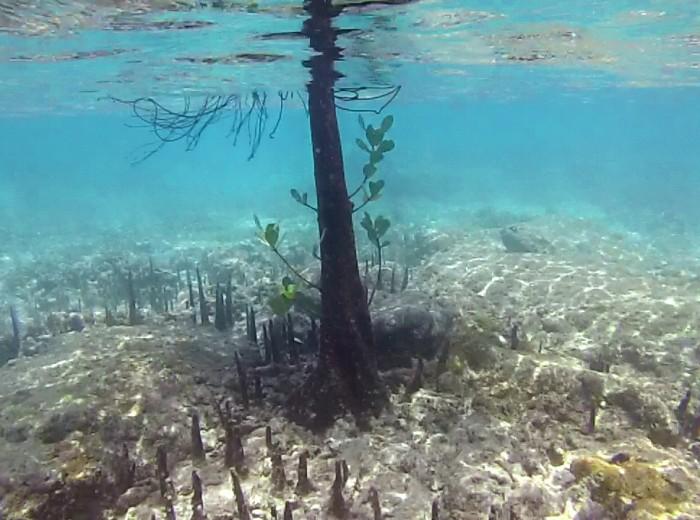 Paletuvier sous l'eau Belitung Indonesie
